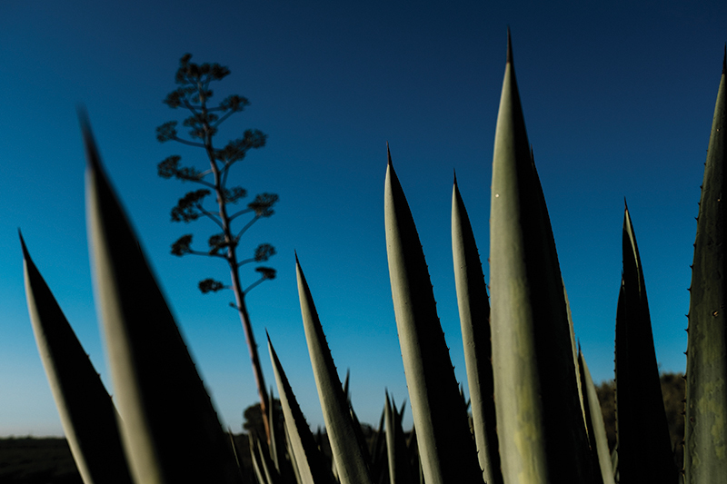 Craig Reynolds' Agave Farm In Woodland, California On Spetember 24, 2020.