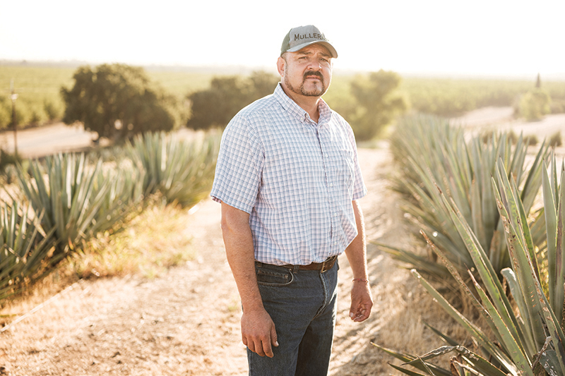 Raul Chavez—who grew up in Tonaya, Mexico, where there is a rich history of tequila and mezcal production—manages a fi eld of agave on Muller Ranch in Woodland. His plants should be ready for harvest in a couple of years. (Photo by Max Whittaker)
